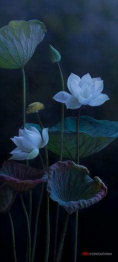 Sen Tuyen 作者 Duong Quoc Dinh - 照片 76939689 / 500px