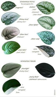 Green Plants, Tropical Plants, All About Plants, Pothos Plant, Inside Plants, Plant Identification, Ornamental Plants, Rare Plants, Outdoor Plants