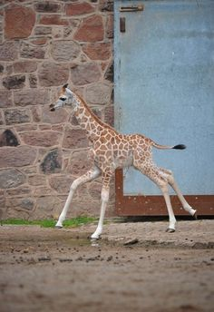 cute baby giraffe is running