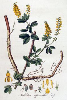 Afbeeldingsresultaat voor citroengele honingklaver