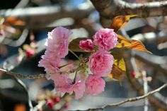 #cherry blossoms, #double cherry blossom, #beautiful, #spring, #bud,