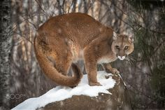 Cougar of the Rock - Cookie the Cougar (Puma concolor) - captive animal