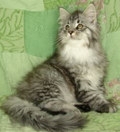 Maine Coon Kitten, Maine Delite Cattery