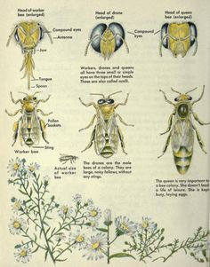 """""""The First book of bees"""" by Albert B. Tibbets, page #14 and artwork by Helen Carter"""