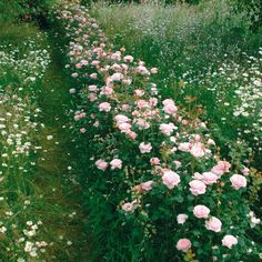 Queen of Sweden - Hedging - Charming, cup-shaped flowers with elegant, upright growth A charming rose with soft pink, cup-shaped flowers and elegant, upright growth. There is a classic myrrh fragrance. Exceptionally healthy. Good for disease resistance. Repeat Flowering. Ideal for poor soil.