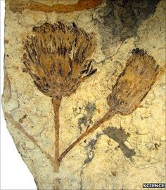 Rare fossilised flower found, related to sunflowers.