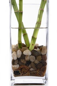 Preventing rot in lucky bamboo is not too difficult if you are attentive to the plant and act quickly when you see a problem with the plant's roots. Use this article to learn how to keep a lucky bamboo from rotting, especially when grown in water.