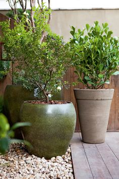Clusia, Tropical Garden Design, Back Garden Design, Outdoor Pots, Outdoor Gardens, Garden Trees, Garden Pots, Plastic Planters, Plantar