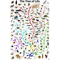 Evolution Tree of Life featuring Charles Darwin, 24x36 Poster Print