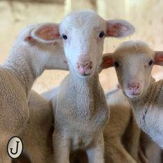 Borrego joven de oveja de la raza merino Spain, Sheep, Sevilla Spain, Spanish