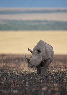 amazingly beautiful black rhino