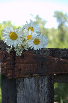 Daisies on a an old fence