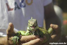 Iguana – Iguana iguana (Linnaeus, 1758)  -Animais - RepLago - Rep Lago - Acampamento - Natureza - Verde - mata - bicho - répteis -  iguana - Linnaeus, 1758 - iguana iguana