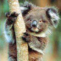Snuggle with a koala bear.