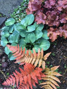 Small Scale Vignette with Mahogany and Blue Foliage | Dryopteris erythrosa 'Red Radiance' (autumn fern), Heuchera 'Mahogany', Hosta 'Blue Mouse Ears' | planting combination with foliage perennials for shade garden
