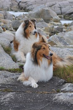 Rough collies