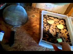 Raising Meal Worms -- Excellent protein source for your poultry. Nicely presented video on breeding meal worms. Chicken Treats, Chicken Feed, Chicken Recipes, Chicken Coops, Healthy Chicken, Meal Worms Raising, Mealworm Farm, Farming, Bearded Dragon Diet