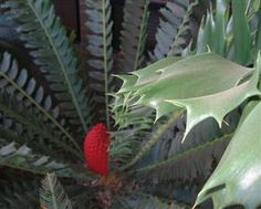 """Encephalartos ferox is one of the most beautiful and interesting African cycads, featuring bright red cones and glossy leaves with sharp lobes. Also known as the """"Holly Leaf Cycad"""", Encephalartos ferox grows along the coastline of South Africa and Mozambique, often in pure sand. The species name """"ferox"""" is Latin for """"ferocious"""", due to its thorny leaves.    it does best growing in part shade. Encephalartos ferox does require excellent drainage and enjoys deep sandy soil…"""