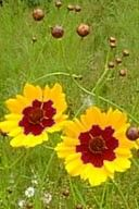 A yellow (red with an acid mordant) dye is obtained from the flowers and is used to dye cloth. It is not very good when used on plant fibres. The flowers can be dried for later use.