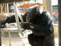 My favorite chimp: Herbie (Chimps, Inc. in Bend, OR)