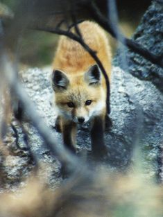 Fox in the woods. Woodland Creatures, Cute Creatures, Beautiful Creatures, Animals Beautiful, Wild Creatures, Fox Pups, Baby Animals, Cute Animals, Fabulous Fox