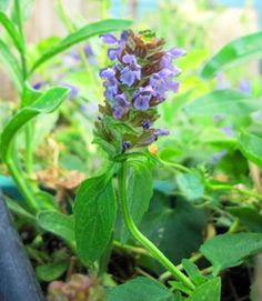 Self-Heal  has a long tradition as a wound-healing herb all over the world. Has been used to stop bleeding, close wounds, as a throat gargle, for hemorrhoids, coughs and colds. Robust low groundcover with sandpaper leaves, copper-purple flowers.