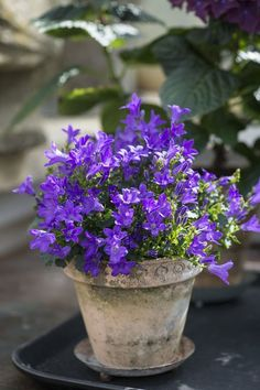 Campanula-- gratitude. Want to try this in LV am told it thrives in most places / conditions.
