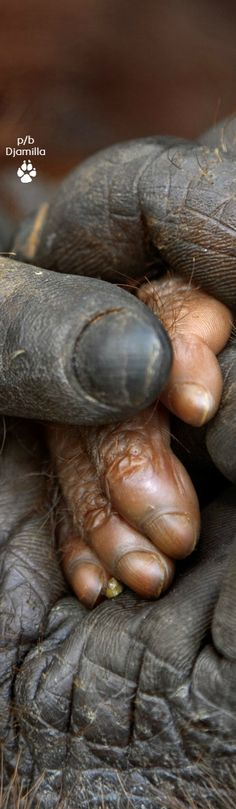 The Hands Of a Mother Orangutan and Her Baby