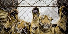 CHINA: Don't Farm Endangered Tigers, Bears and Other Wildlife!  HALT PROPOSED NEW ANTI-WILDLIFE LAW IN CHINA