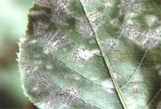 Organic tx for powdery mildew on plants: To use, mix 1 cup of skim milk with 9 cups of water and spray on infected areas every two to three days.    Make a spray of 1 tbsp. of baking soda in 1 gallon of water and spray on infected areas every three to five days.    Organic Neem oil is a broad-spectrum fungicide. Mix 2 tbsp. and 1 1/2 tsp. dish soap per gallon of water. Spray all plant surfaces, including the undersides of leaves, until wet.