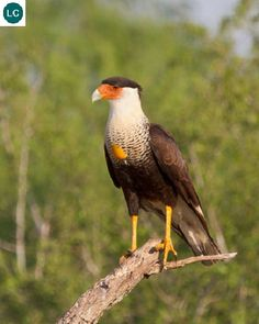 https://www.facebook.com/WonderBirdSpecies/ Northern crested caracara (Caracara cheriway); Southern United States, Mexico, Central America and northern South America; IUCN Red List of Threatened Species 3.1 : Least Concern (LC)(Loài ít quan tâm) || Chim Cắt mào Caracara phương bắc; Miền nam Hoa Kỳ, Mexico, Trung Mỹ và miền bắc Nam Mỹ; HỌ CHIM CẮT - FALCONIDAE (Falcons, Caracaras).