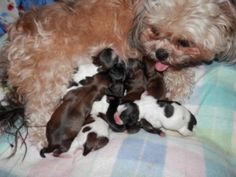 """shih tzu"""" Dogs & puppies For Sale in Des Moines  eBay Classifieds ..."""