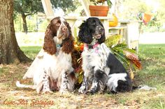 Fall with our Springers!  <3 Vienna & Dory <3 #lonestarspringers #europeanenglishspringerspaniels #englishspringerspaniels #englishspringers