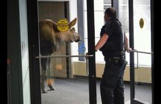 Only in Alaska you will see a moose inside of a hospital! I still can't believe this happened haha