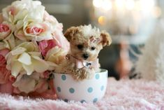 Teacup Poodle Puppy....looks just like my Snicky Bear did.... :)