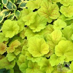 Bright Chartreuse Ruffles The Coral Bells Lime Rickey, Heuchera 'Lime Rickey' has outstanding chartreuse leaves with an abundance of small white flowers that appear on spindly stems to provide additional interest! Beautiful Flowers, Heuchera, Coral Bells Heuchera, Plants, Coral Bells Plant, Planting Flowers, Foliage Plants, Plant Leaves, Buy Plants