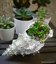 a sea shell painted silver makes a home for a succulent. even regular colored sheels would be great!