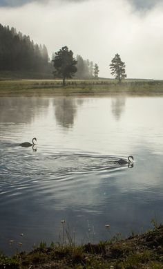 Trumpeter Swans at dawn in Yellowstone National Park, USA Yellowstone National Park, National Parks, Trumpeter Swan, Peregrine Falcon, Swans, Bald Eagle, Birds, America, Usa