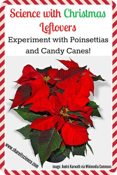 Share it! Science News : Sunday Science Experiment: Science with Christmas Leftovers, Poinsettia and Candy Cane Experiments Plant Experiments, Easy Science Experiments, Stem Science, Science News, Science Writing, Christmas Arts And Crafts, Christmas Activities For Kids, Christmas Games, Christmas Ideas