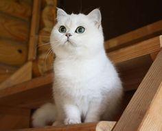 хочу котика! Beautiful Cats, Animals Beautiful, Cute Animals, Crazy Cat Lady, Crazy Cats, Cats And Kittens, Kitty Cats, Fuzzy Wuzzy, I Love Cats