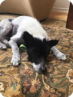 *Senior* Border Collie Mix Dog for adoption in New York, Rosalee is a 9 year old senior border collie mix female. She was rescued from the shelter in horrific shape, emaciated, missing fur, and potential blockage. Rosalee has made the trip north and is ready to find her new home