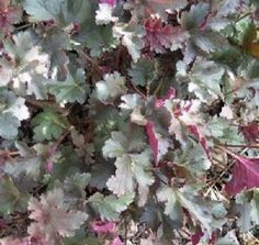 The Stormy Seas Heuchera plant has magnificently ruffled leaves that are reddish-purple when young, then age to a bronzy-green, but all with a pinky-steel dusting interspersed with noticeable veining. It produces cream-colored flowers that rise above the foliage on 30 inch, dark-purple scapes.  16