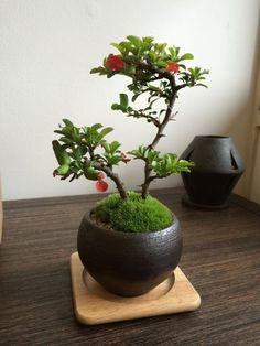 長寿梅の情景盆栽