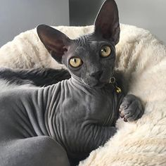 """3,647 Likes, 40 Comments - Sphynx Of Insta (@sphynxunlimited) on Instagram: """"Luna the sphynx #Repost @lunaticthesphynx How much do YOU love your cat? ❤️ Get our Limited…"""""""