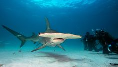 Group of divers observe Great Hammerhead shark