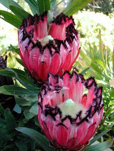 "Protea Flower - ""Pink Mink"" - from South Africa Strange Flowers, Unusual Flowers, Unusual Plants, Rare Flowers, Exotic Plants, Tropical Plants, Tropical Flowers, Amazing Flowers, Beautiful Flowers"