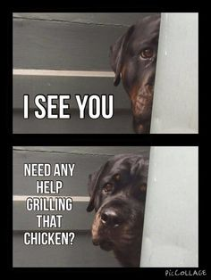 Your Rottweiler is always there to help you grill chicken!