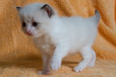 2013: Ikran A Zwollywood Cat. 3 Weeks old Ragdoll kitten, seal bicolour. Avatar litter.