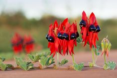 Swainsona formosa, or Sturt's Desert Pea, is one of Australia's best known plants, famous for its distinctive blood-red leaf-like flowers. Red Flower Wallpaper, 2k Wallpaper, Red Flowers, Beautiful Flowers, Annual Plants, Day Lilies, New Leaf, Flower Seeds, Plant Care