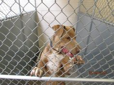 Roswell Urgent Animals at Animal Control Page Liked · May 9 · Edited ·    >>>>>>CODE RED! OUT BY 5-15<<<<<<  Cage 41- TRINITY ---------Pledges v.2 $75 Impound # 1766 Pit X Female, 2 YEARS Brown Intake 5-8-2015 | Out by 5-15-2015  Location found: 700 N Union  Photo taken by: Rhonda Wilkes-Garcia  Roswell Animal Control 705 E. McGaffey Roswell NM, 88203 575-624-6722 — with April Topete, Tina Ochoa, Nicky Luckinbill and 12 others.